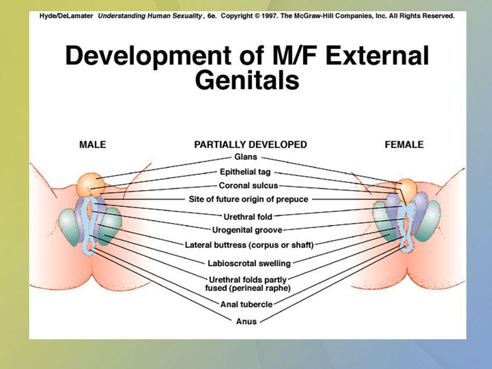 Vývoj zevního genitálu u ženy Phallus – clitoris Uretrální řasy – labia minora Labioscrotální valy – labia majora Sinus urogenitalis – vestibulum vaginae
