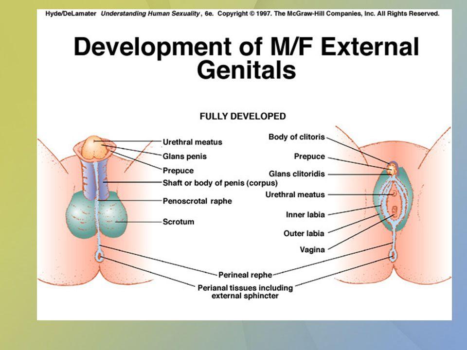 Malformace Chromosomální abnormality– Turnerův sy, hermaphroditismus, syndrom testikulární feminizace Cryptorchismus, ectopia testes, kongenitální inquinální hernie Epispadia, duplikace penisu, hypospadia Zvětšení clitoris, skrotalizace labia majora