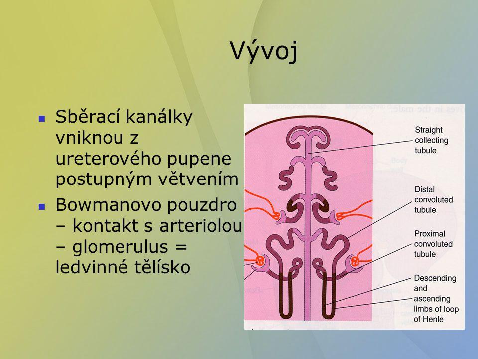 Vývoj Fetální ledvina – kůra a dřeň tvoří lalůčky - lobuli Kortikální (povrchové) nefrony se vyvíjejí později.