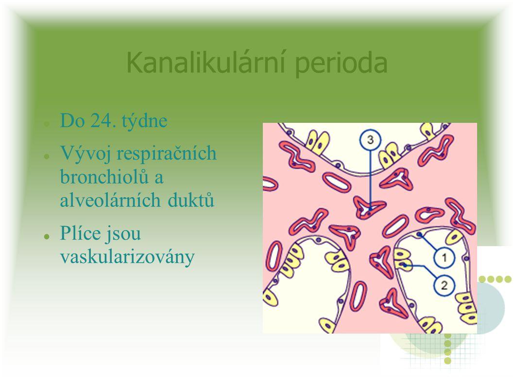 Kanalikulární perioda Do 24. týdne Vývoj respiračních bronchiolů a alveolárních duktů Plíce jsou vaskularizovány