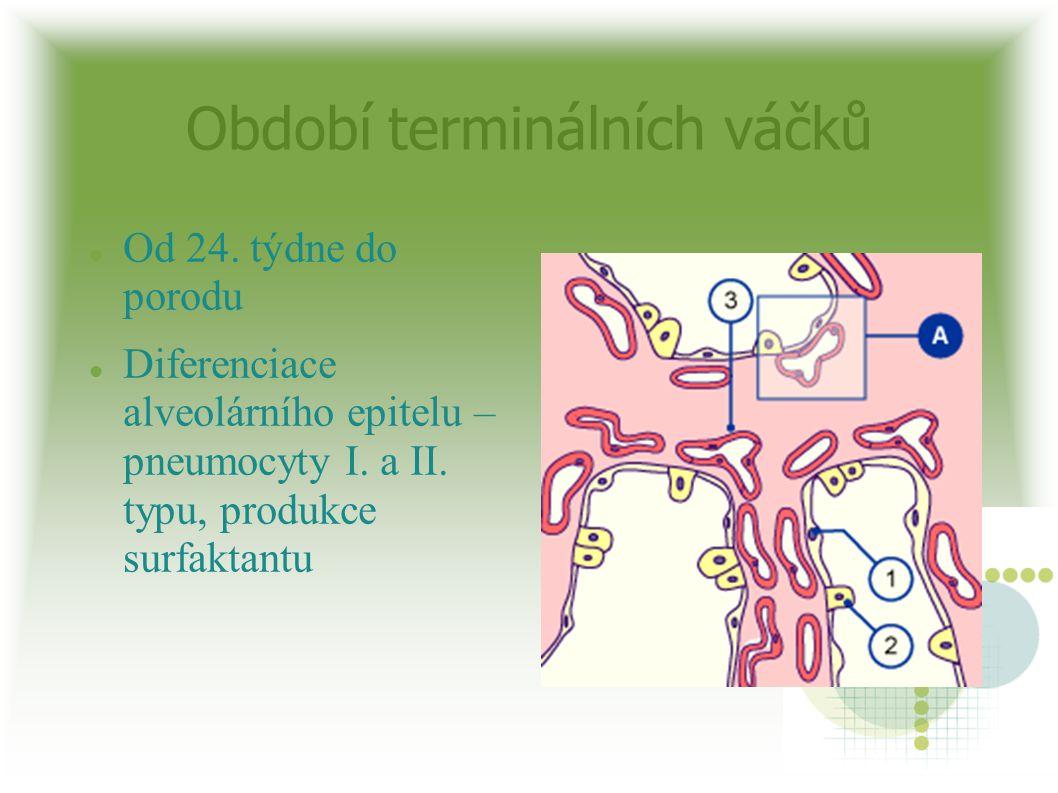 Období terminálních váčků Od 24. týdne do porodu Diferenciace alveolárního epitelu – pneumocyty I. a II. typu, produkce surfaktantu