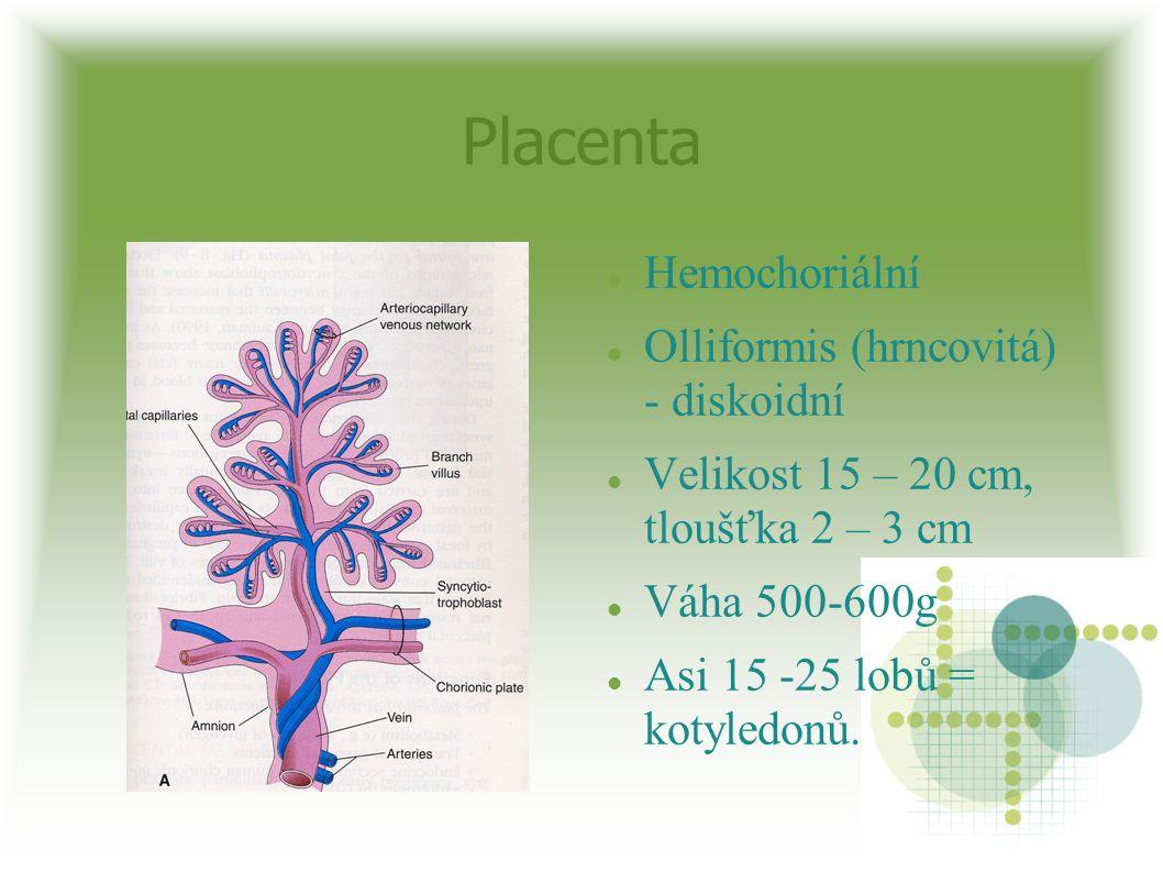 Placenta Hemochoriální Olliformis (hrncovitá) - diskoidní Velikost 15 – 20 cm, tloušťka 2 – 3 cm Váha 500-600g Asi 15 -25 lobů = kotyledonů.