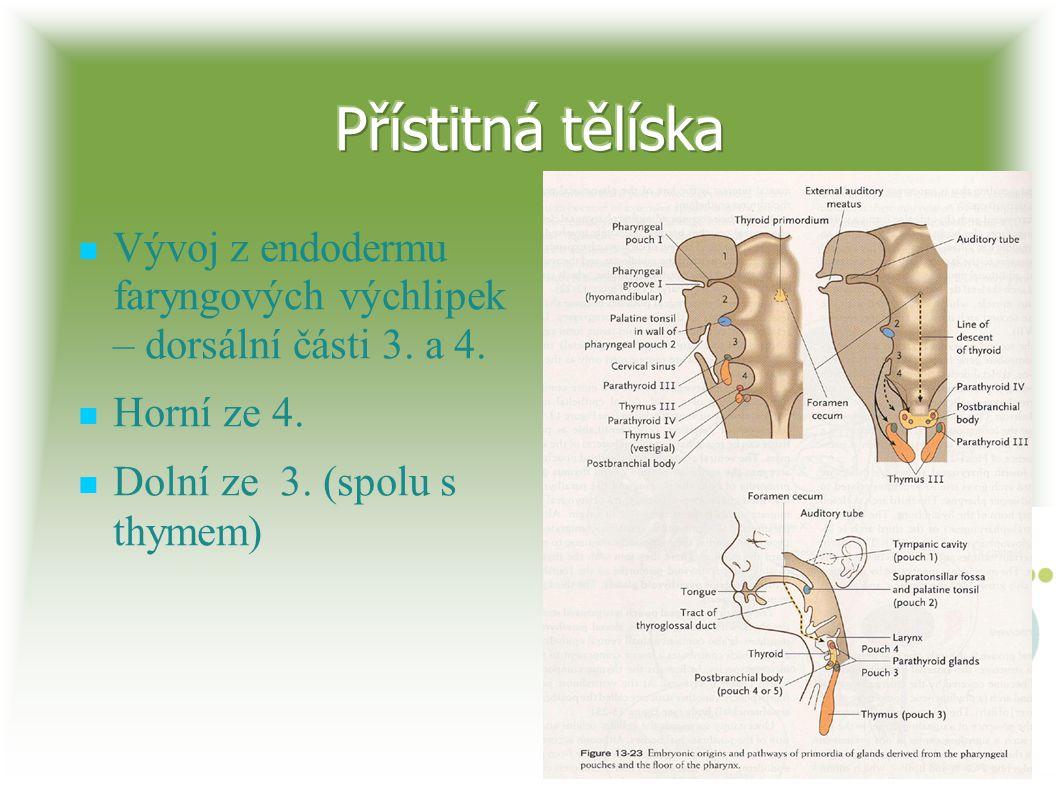 Vývoj z endodermu faryngových výchlipek – dorsální části 3. a 4. Horní ze 4. Dolní ze 3. (spolu s thymem)