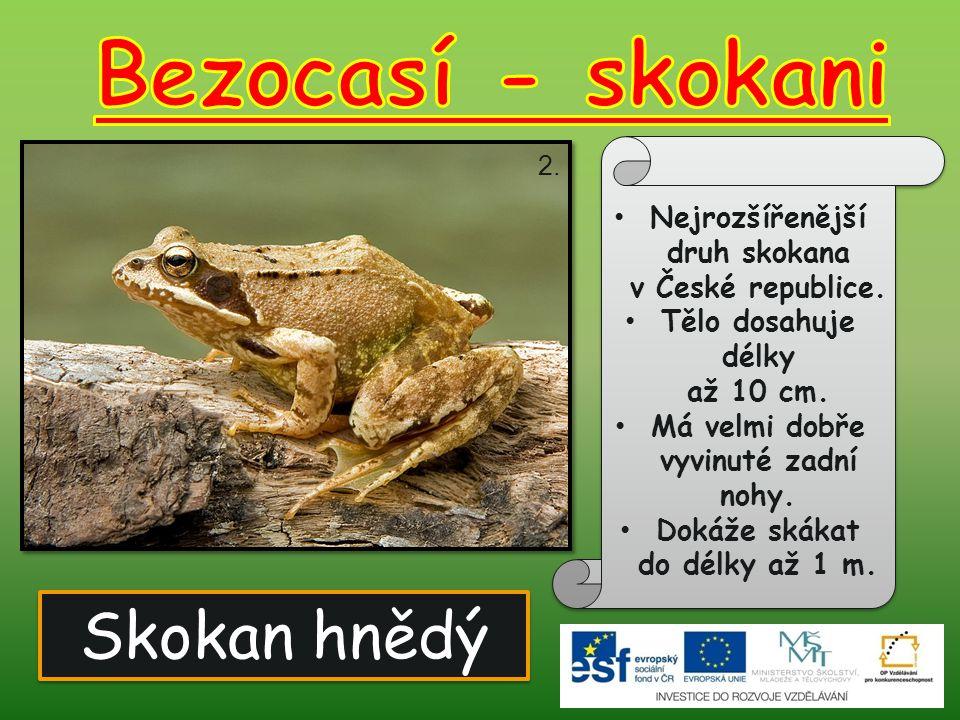 Skokan hnědý Nejrozšířenější druh skokana v České republice. Tělo dosahuje délky až 10 cm. Má velmi dobře vyvinuté zadní nohy. Dokáže skákat do délky