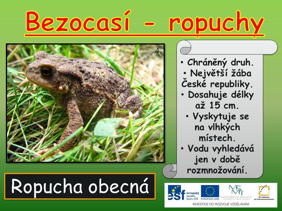 Ropucha obecná Chráněný druh. Největší žába České republiky. Dosahuje délky až 15 cm. Vyskytuje se na vlhkých místech. Vodu vyhledává jen v době rozmn