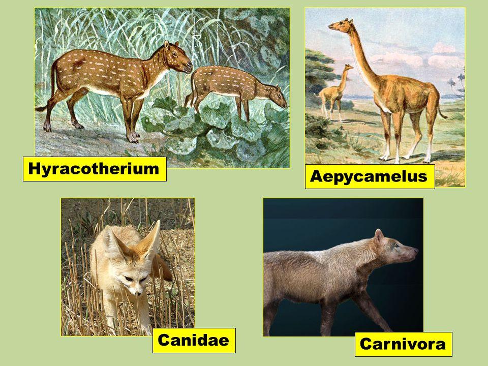 Canidae Aepycamelus Hyracotherium Carnivora
