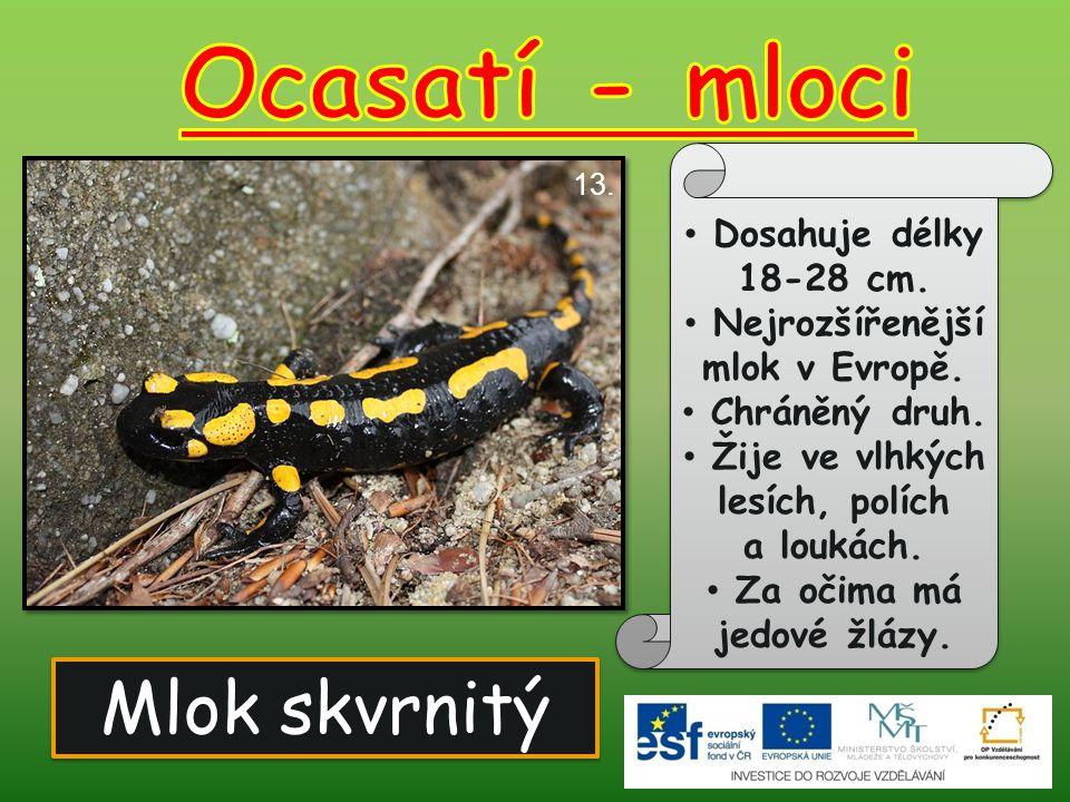 Mlok skvrnitý 13. Dosahuje délky 18-28 cm. Nejrozšířenější mlok v Evropě. Chráněný druh. Žije ve vlhkých lesích, polích a loukách. Za očima má jedové