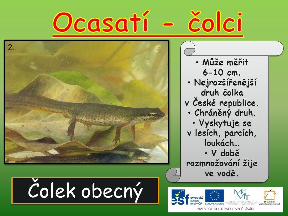 Čolek obecný Může měřit 6-10 cm. Nejrozšířenější druh čolka v České republice. Chráněný druh. Vyskytuje se v lesích, parcích, loukách… V době rozmnožo
