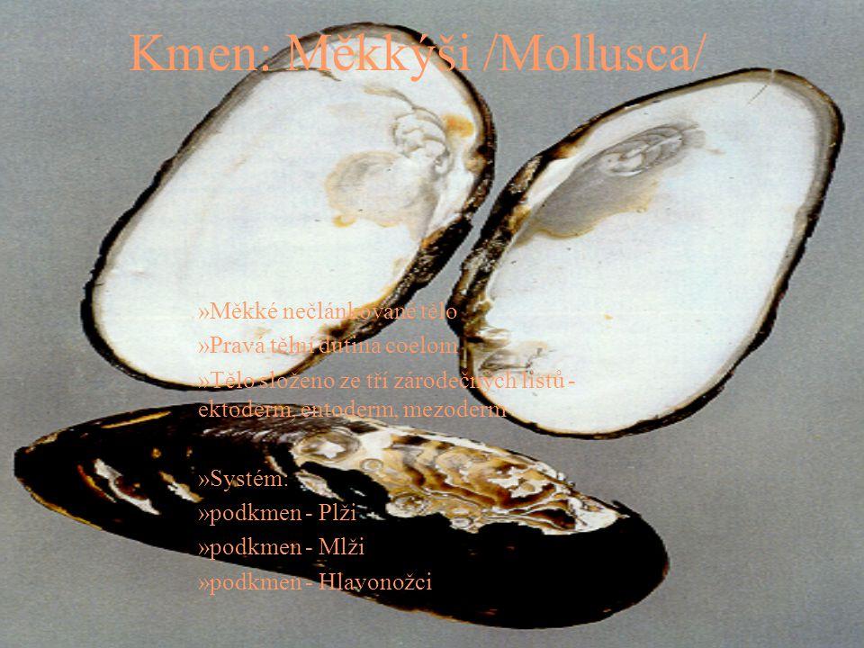 Kmen: Měkkýši /Mollusca/ »Měkké nečlánkované tělo »Pravá tělní dutina coelom »Tělo složeno ze tří zárodečných listů - ektoderm, entoderm, mezoderm »Sy