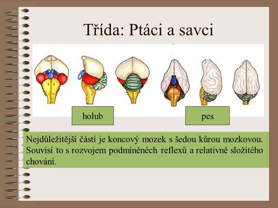 Třída: Ptáci a savci holubpes Nejdůležitější částí je koncový mozek s šedou kůrou mozkovou. Souvisí to s rozvojem podmíněnéch reflexů a relativně slož
