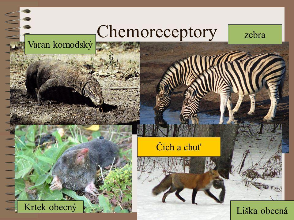 Chemoreceptory Varan komodský Krtek obecný Liška obecná zebra Čich a chuť