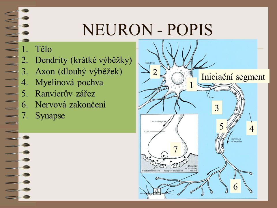 NEURON - POPIS 1 2 3 4 5 7 1.Tělo 2.Dendrity (krátké výběžky) 3.Axon (dlouhý výběžek) 4.Myelinová pochva 5.Ranvierův zářez 6.Nervová zakončení 7.Synap