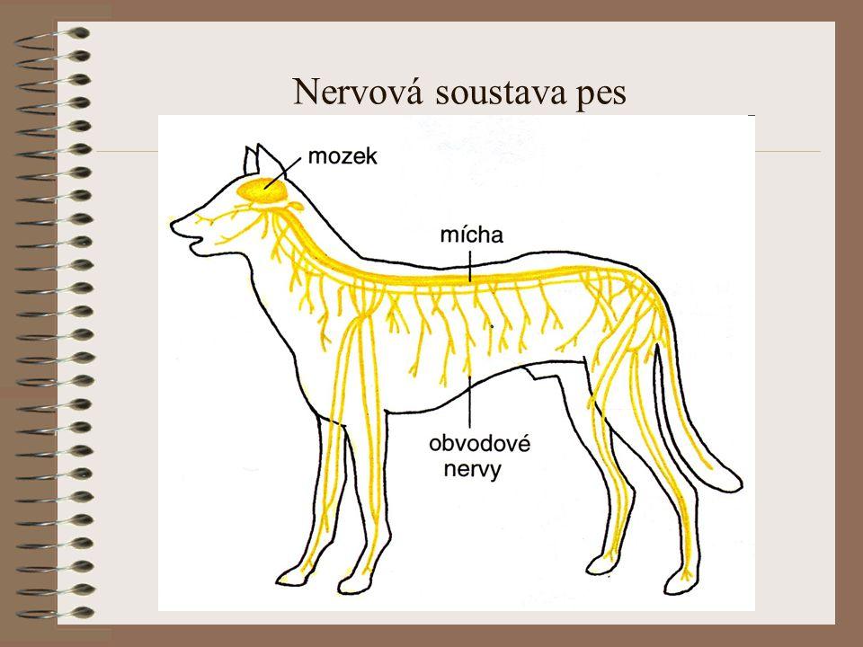 Nervová soustava pes