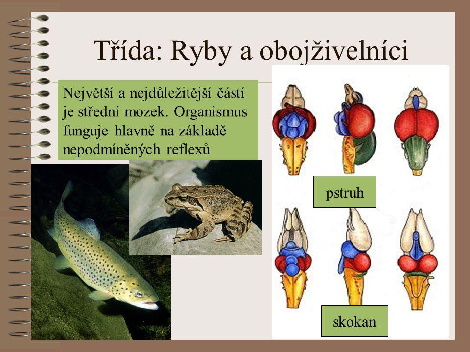 Třída: Ryby a obojživelníci pstruh skokan Největší a nejdůležitější částí je střední mozek. Organismus funguje hlavně na základě nepodmíněných reflexů