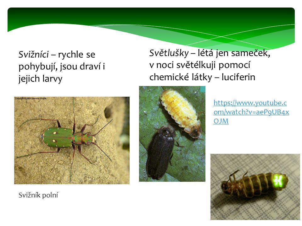 Svižníci – rychle se pohybují, jsou draví i jejich larvy Světlušky – létá jen sameček, v noci světélkuji pomocí chemické látky – luciferin Svižník pol