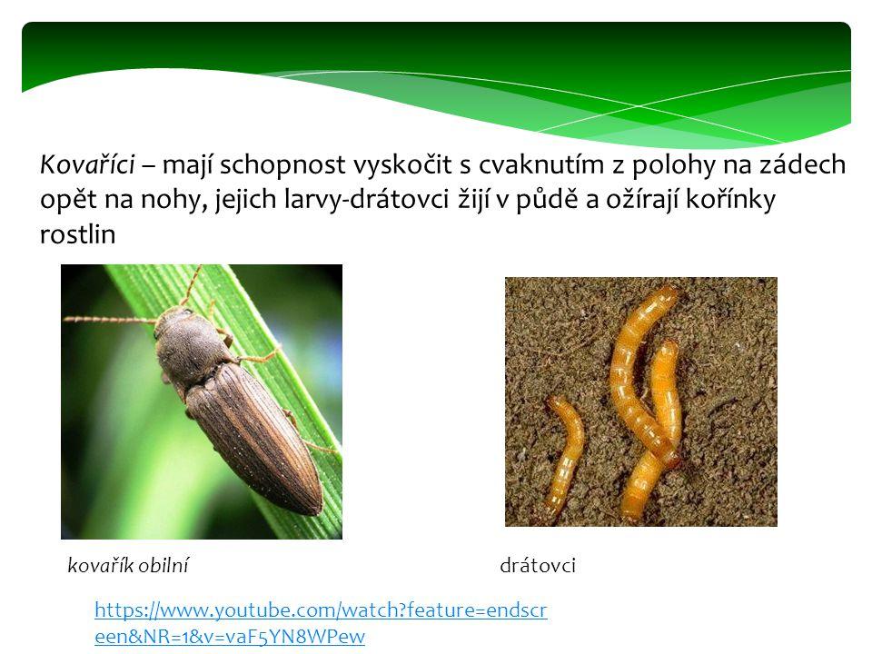 Kovaříci – mají schopnost vyskočit s cvaknutím z polohy na zádech opět na nohy, jejich larvy-drátovci žijí v půdě a ožírají kořínky rostlin kovařík ob