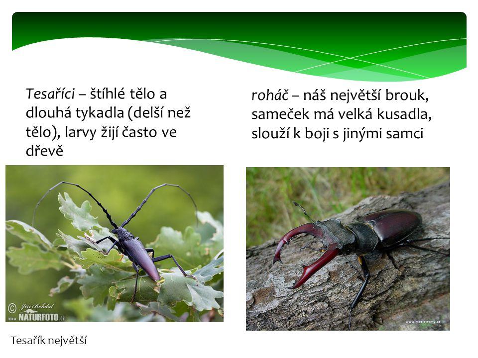 Tesaříci – štíhlé tělo a dlouhá tykadla (delší než tělo), larvy žijí často ve dřevě roháč – náš největší brouk, sameček má velká kusadla, slouží k boj