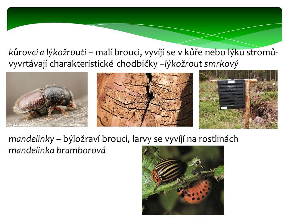 kůrovci a lýkožrouti – malí brouci, vyvíjí se v kůře nebo lýku stromů- vyvrtávají charakteristické chodbičky –lýkožrout smrkový mandelinky – býložraví