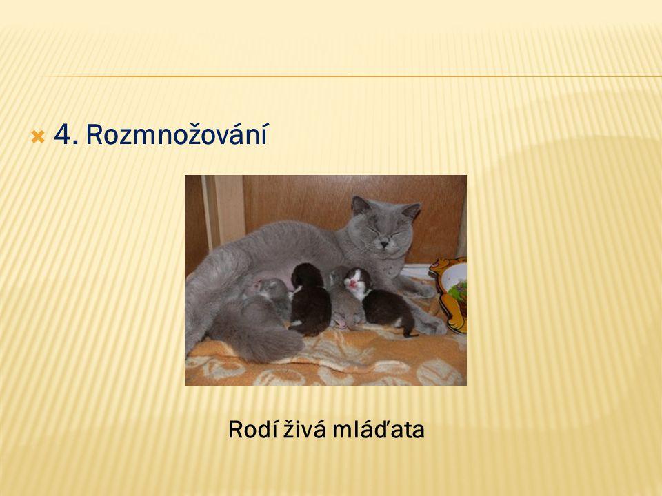  4. Rozmnožování Rodí živá mláďata