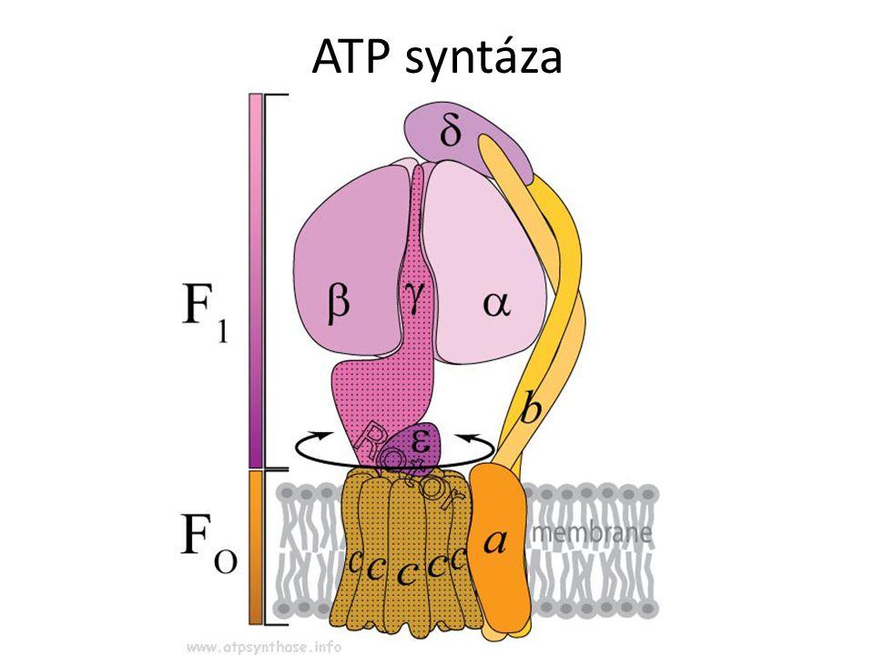 ATP syntáza