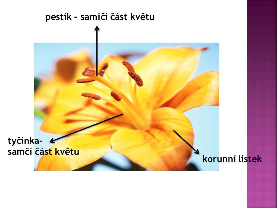 pestík – samičí část květu korunní lístek tyčinka- samčí část květu