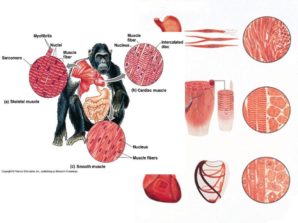 Tkáně 4.nervová –buňka = neuron = tělo + výběžky - dendrity a neurit (axon) –vede vzruch –reaguje na podráždění –spojení mozku a orgánů –dostředivá a odstředivá vlákna