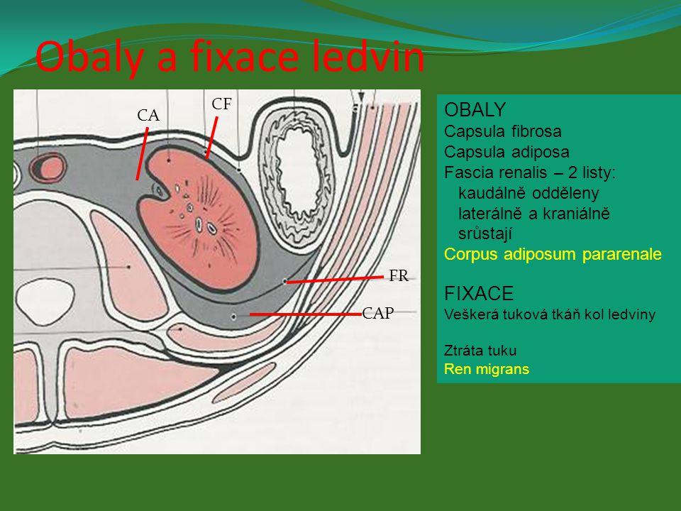 OBALY Capsula fibrosa Capsula adiposa Fascia renalis – 2 listy: kaudálně odděleny laterálně a kraniálně srůstají Corpus adiposum pararenale FIXACE Veš