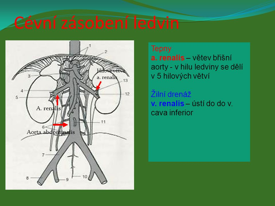 Tepny a. renalis – větev břišní aorty - v hilu ledviny se dělí v 5 hilových větví Žilní drenáž v. renalis – ústí do do v. cava inferior Aorta abdomina