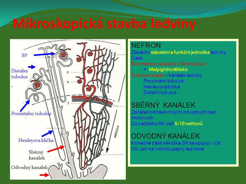NEFRON Základní stavební a funkční jednotka ledviny Části: Bowmanovo pouzdro +Glomerulus = Malpighiho tělísko Tubulus renalis – kanálek ledviny Proxim