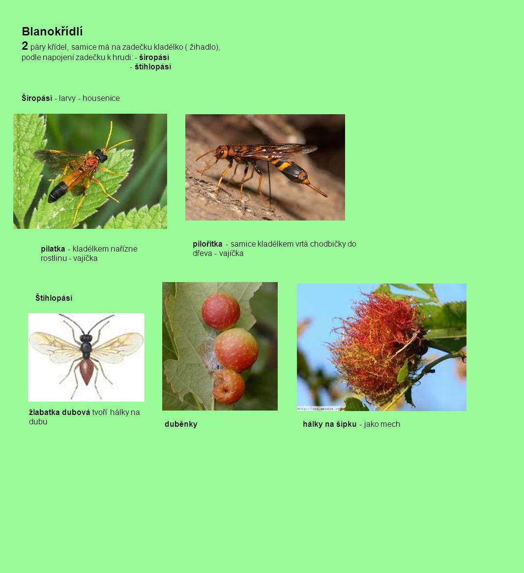 Blanokřídlí 2 páry křídel, samice má na zadečku kladélko ( žihadlo), podle napojení zadečku k hrudi: - širopásí - štíhlopásí Širopásí - larvy - housen