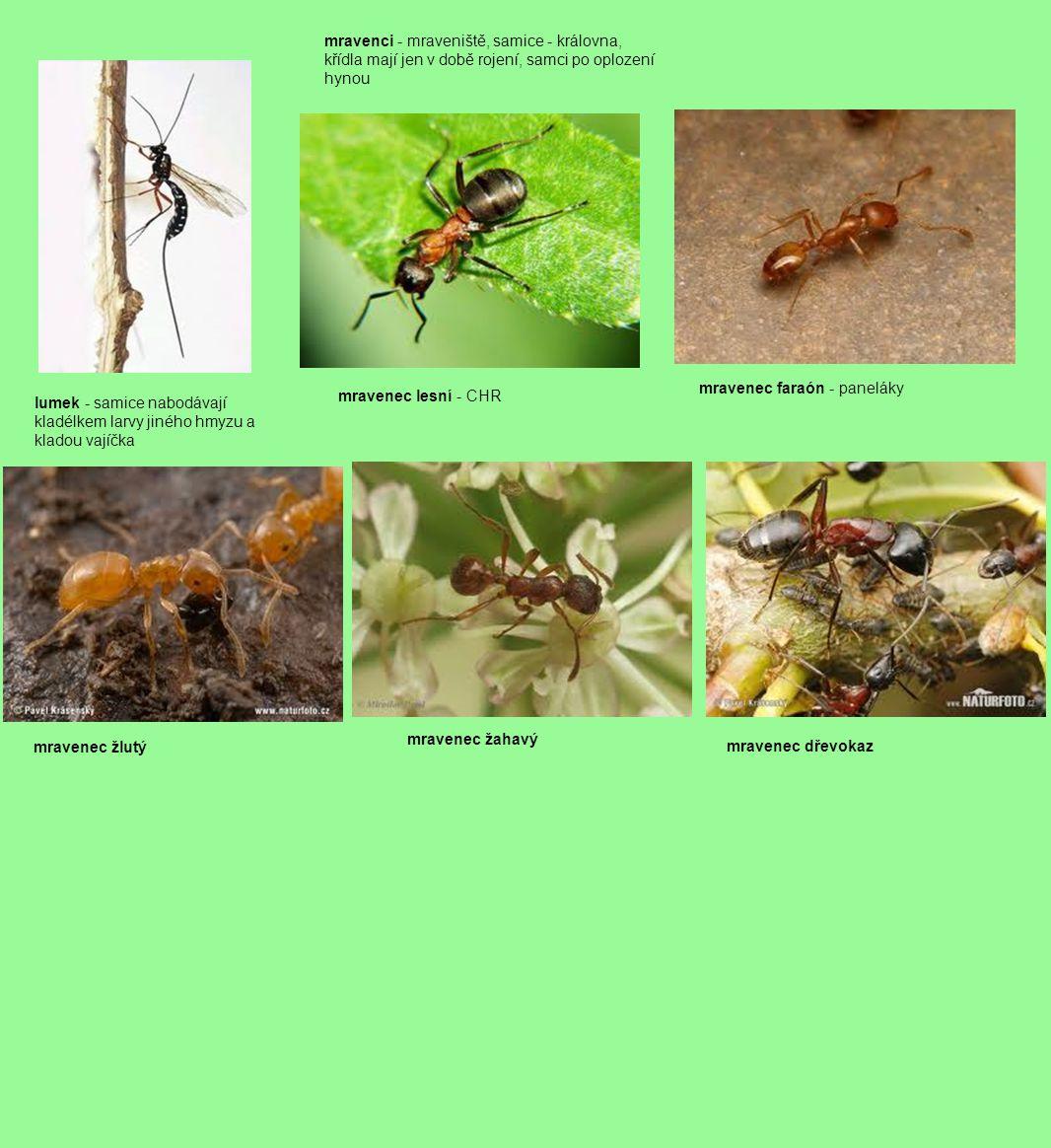 lumek - samice nabodávají kladélkem larvy jiného hmyzu a kladou vajíčka mravenci - mraveniště, samice - královna, křídla mají jen v době rojení, samci