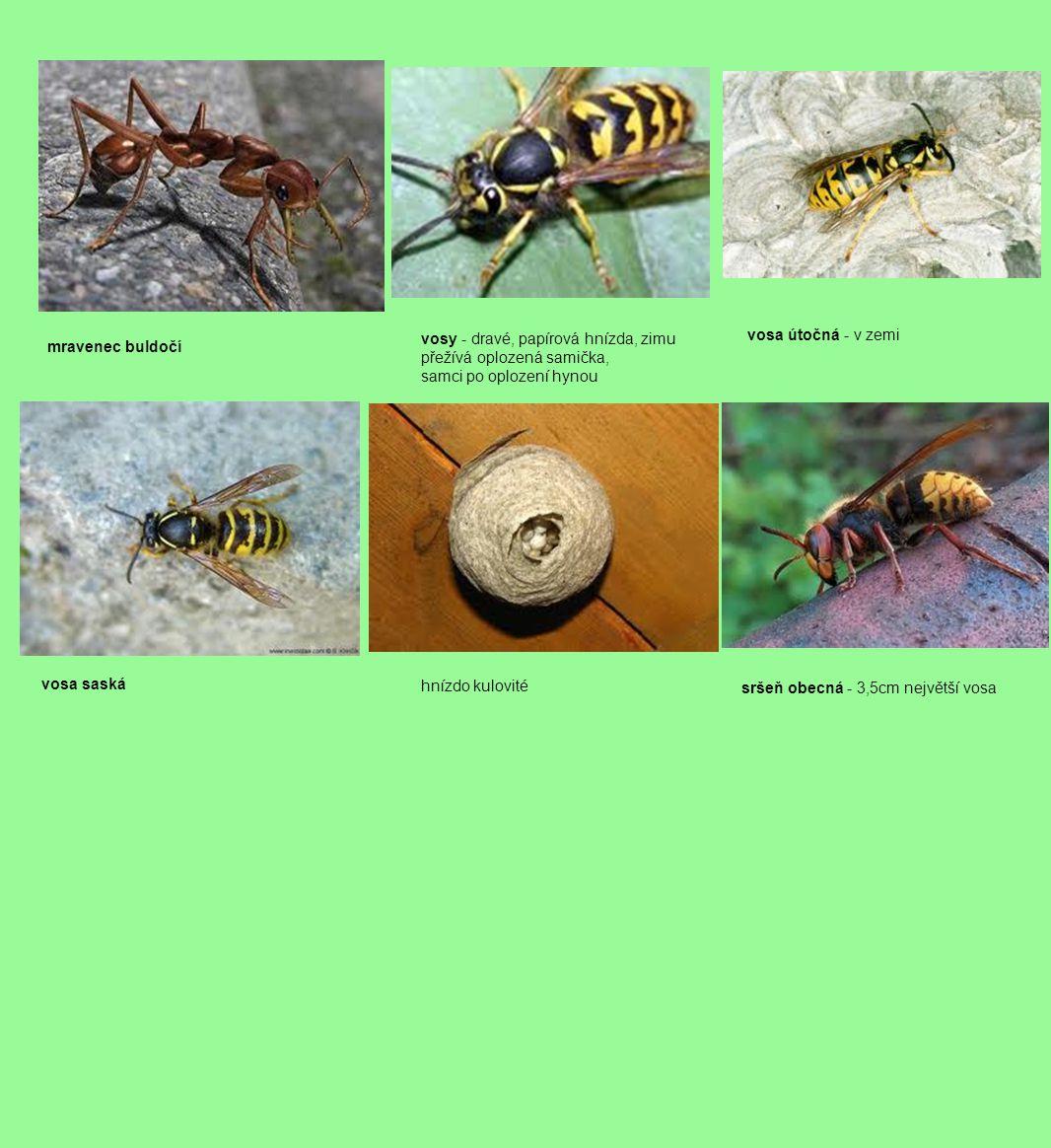 mravenec buldočí vosy - dravé, papírová hnízda, zimu přežívá oplozená samička, samci po oplození hynou vosa útočná - v zemi vosa saská hnízdo kulovité