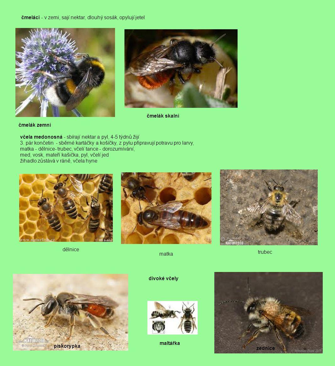 čmeláci - v zemi, sají nektar, dlouhý sosák, opylují jetel čmelák zemní čmelák skalní včela medonosná - sbírají nektar a pyl, 4-5 týdnů žijí 3. pár ko