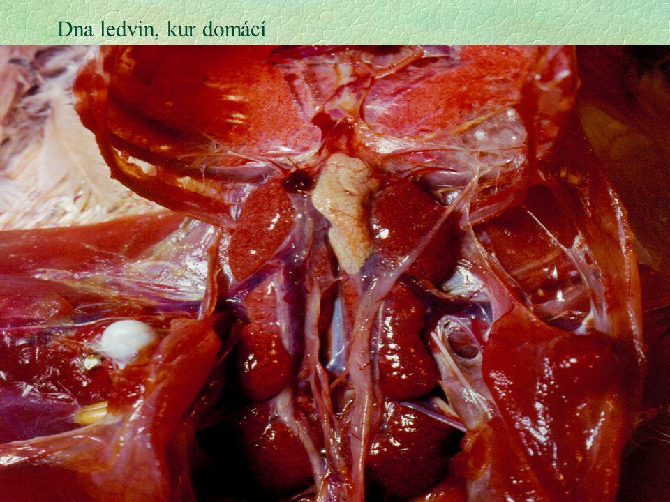 15 Dna ledvin, kur domácí