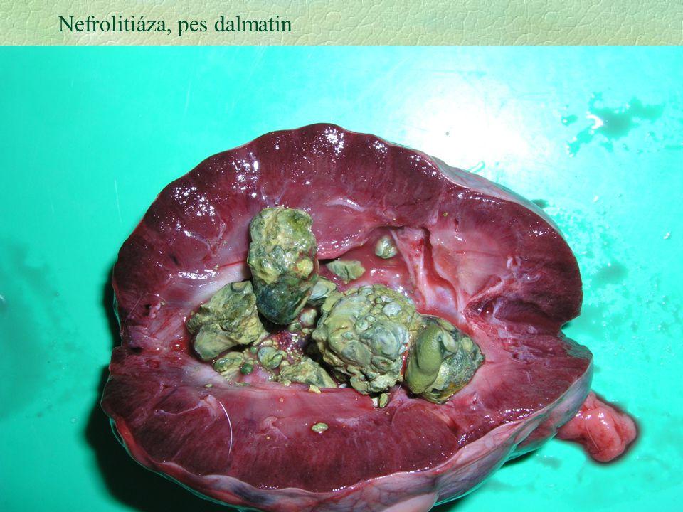 30 Nefrolitiáza, pes dalmatin