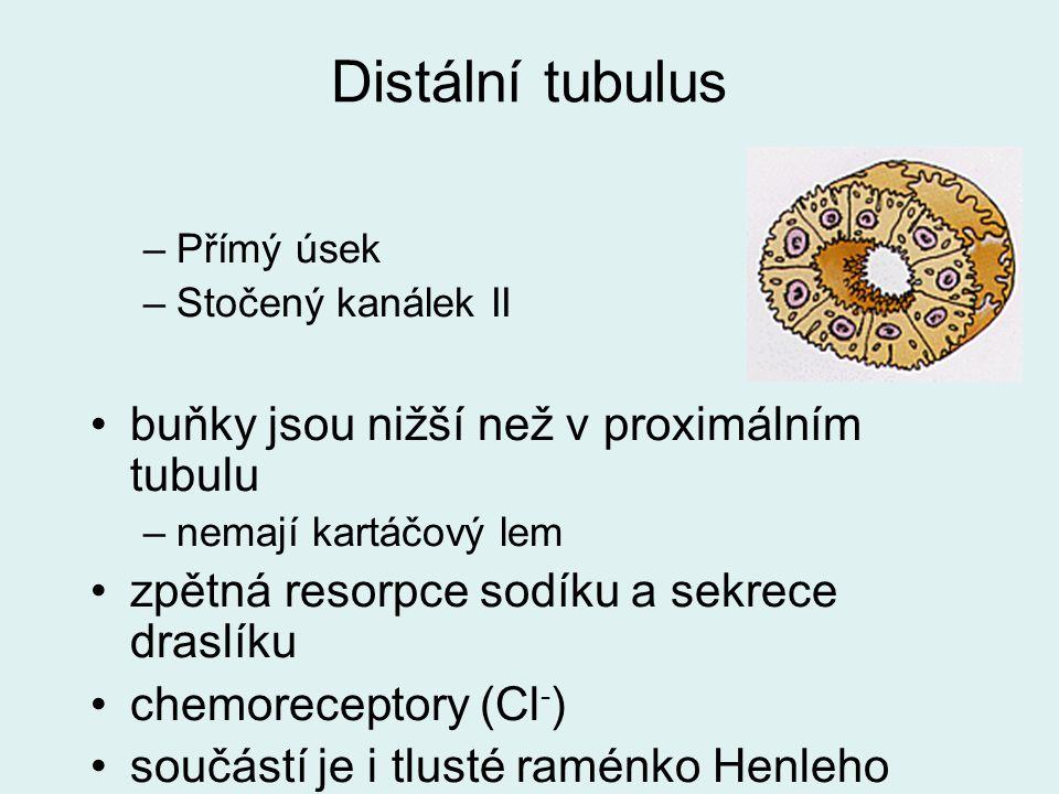 Distální tubulus –Přímý úsek –Stočený kanálek II buňky jsou nižší než v proximálním tubulu –nemají kartáčový lem zpětná resorpce sodíku a sekrece dras
