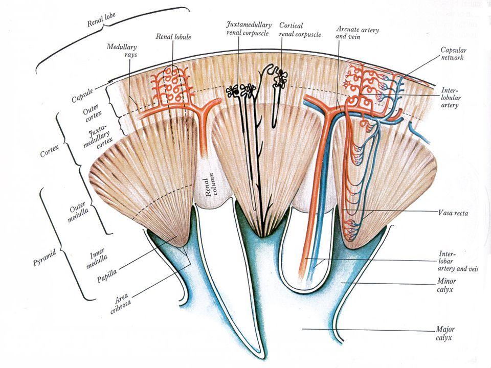 Vývoj ledviny Pronefros - od 21.