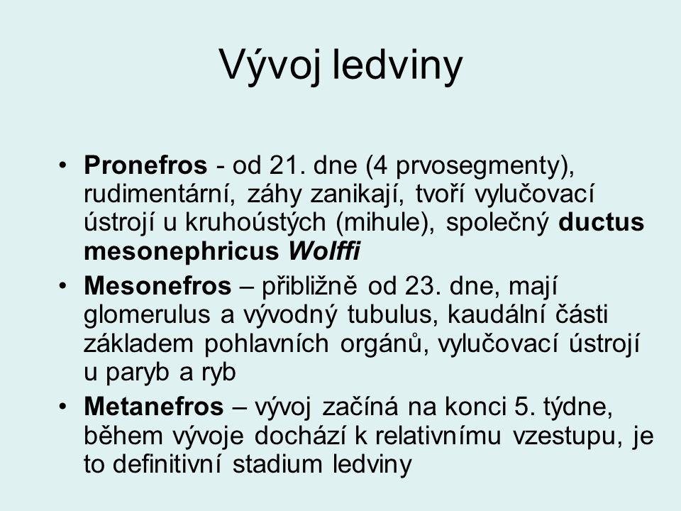 Vývoj ledviny Pronefros - od 21. dne (4 prvosegmenty), rudimentární, záhy zanikají, tvoří vylučovací ústrojí u kruhoústých (mihule), společný ductus m