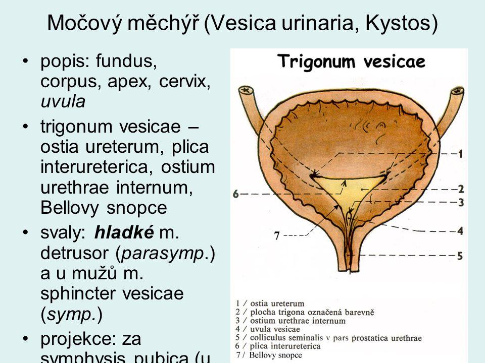 Močový měchýř (Vesica urinaria, Kystos) popis: fundus, corpus, apex, cervix, uvula trigonum vesicae – ostia ureterum, plica interureterica, ostium ure