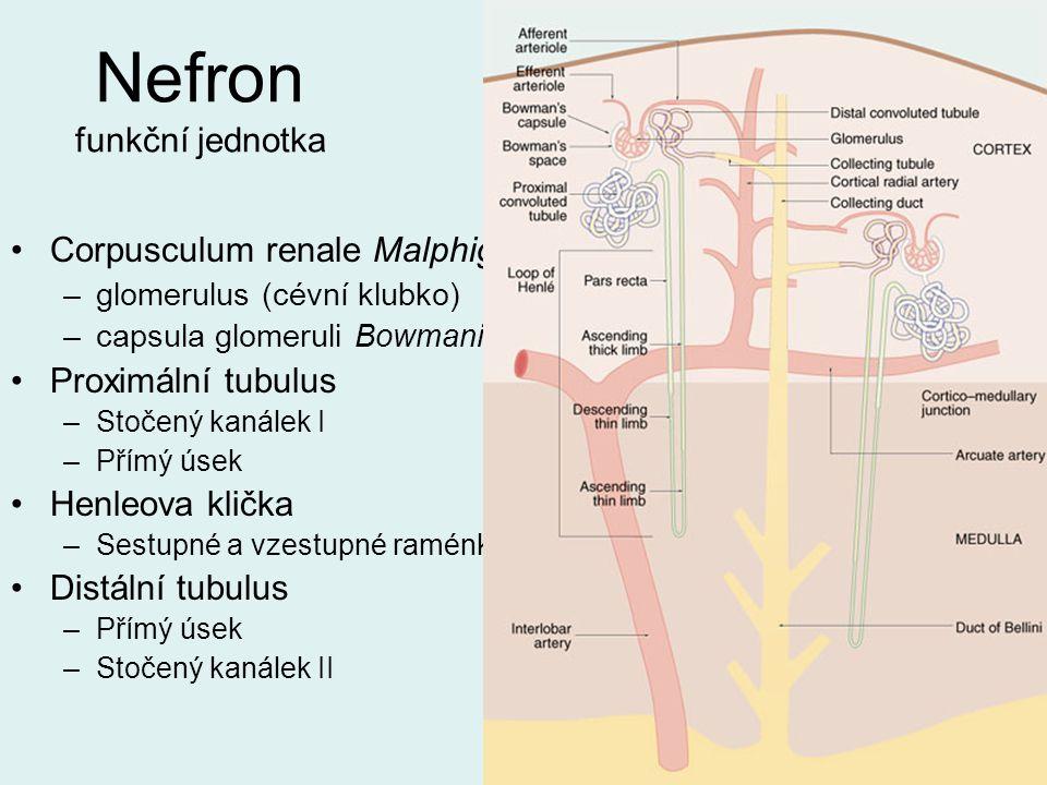 Nefron funkční jednotka Corpusculum renale Malphigi –glomerulus (cévní klubko) –capsula glomeruli Bowmani Proximální tubulus –Stočený kanálek I –Přímý
