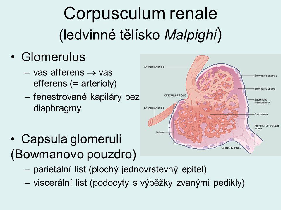 Corpusculum renale (ledvinné tělísko Malpighi ) Capsula glomeruli (Bowmanovo pouzdro) –parietální list (plochý jednovrstevný epitel) –viscerální list