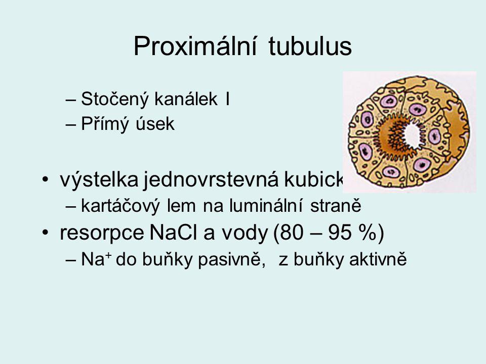 Proximální tubulus –Stočený kanálek I –Přímý úsek výstelka jednovrstevná kubická –kartáčový lem na luminální straně resorpce NaCl a vody (80 – 95 %) –