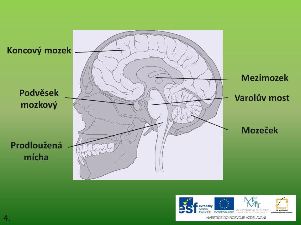 4. Mozeček Mezimozek Koncový mozek Varolův most Prodloužená mícha Podvěsek mozkový