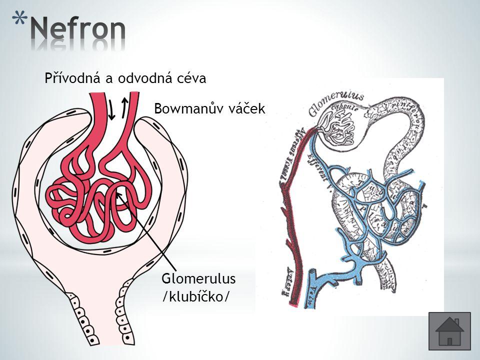 Bowmanův váček Glomerulus /klubíčko/ Přívodná a odvodná céva