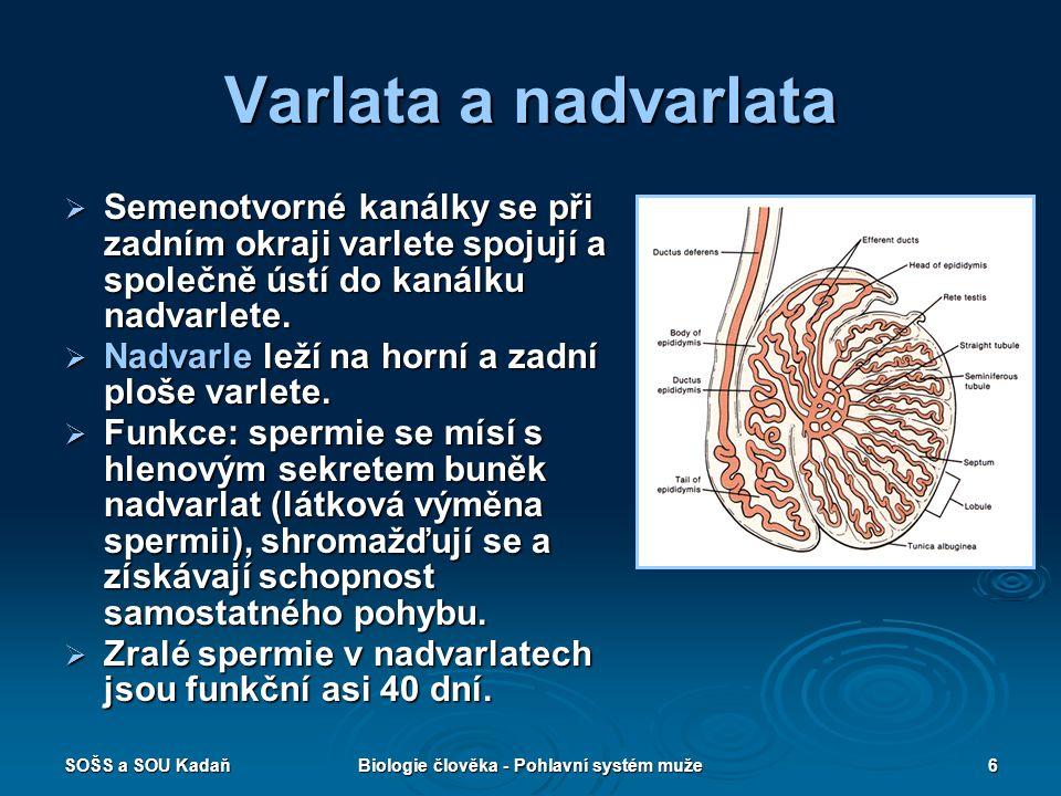 SOŠS a SOU KadaňBiologie člověka - Pohlavní systém muže6 Varlata a nadvarlata  Semenotvorné kanálky se při zadním okraji varlete spojují a společně ú