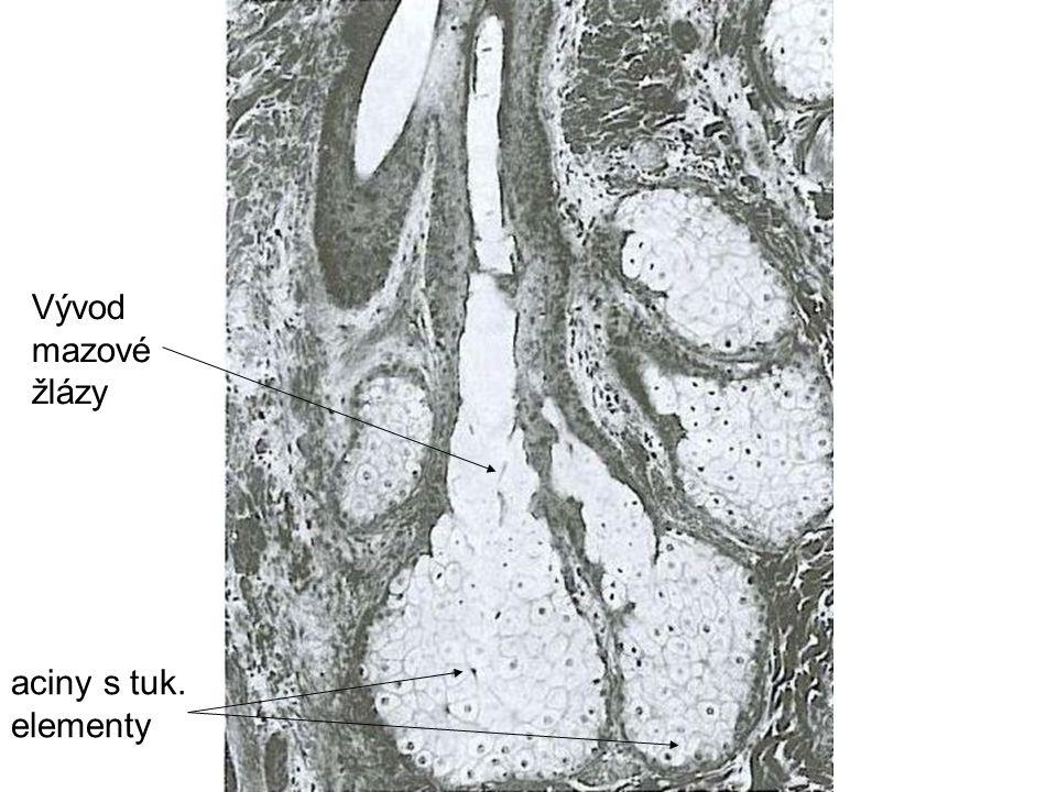 Vývod mazové žlázy aciny s tuk. elementy