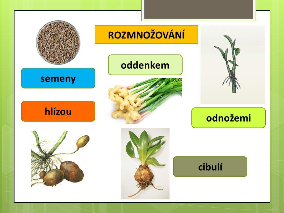 ROZMNOŽOVÁNÍ semeny odnožemi oddenkem hlízou cibulí