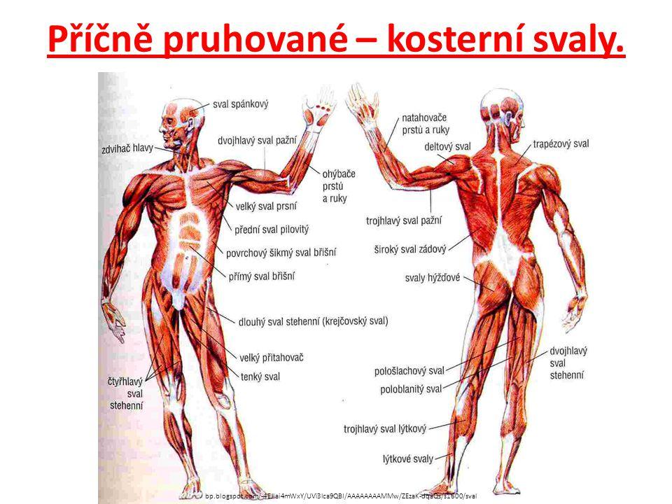 Příčně pruhované – kosterní svaly. bp.blogspot.com/-4EJlai4mWxY/UVi3lca9QBI/AAAAAAAAMMw/ZEzaK-dqaQs/s1600/sval