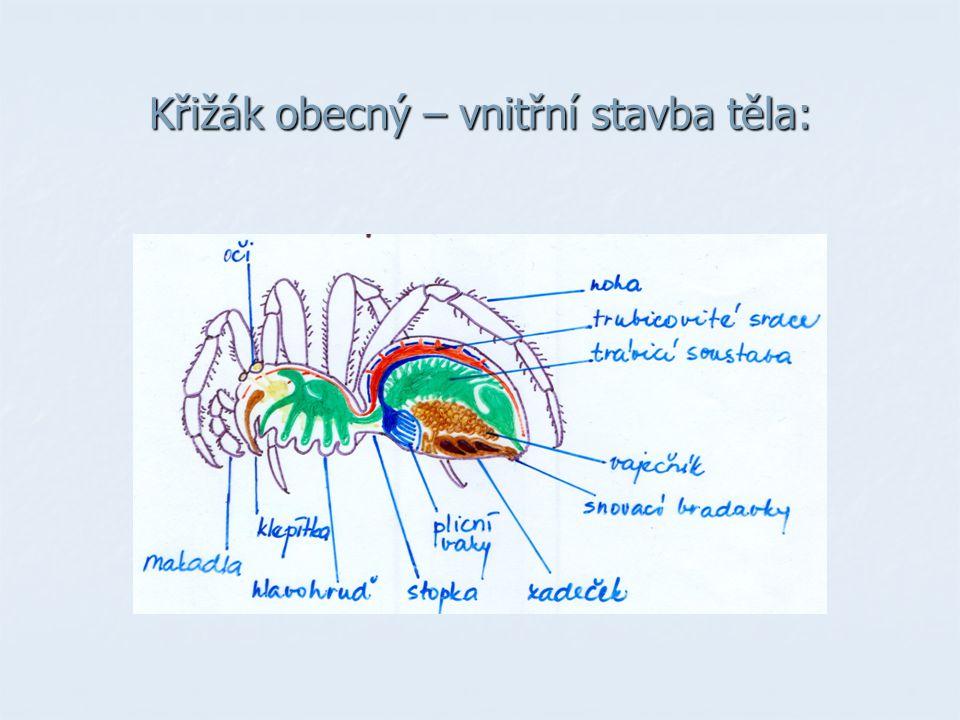 Křižák obecný – vnitřní stavba těla: