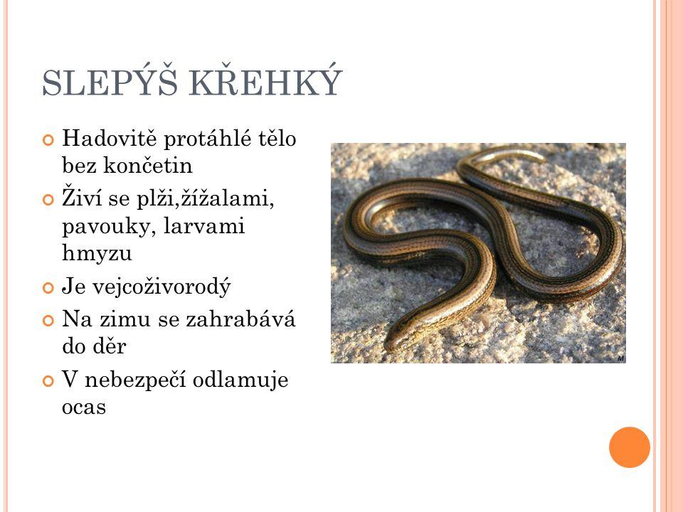 SLEPÝŠ KŘEHKÝ Hadovitě protáhlé tělo bez končetin Živí se plži,žížalami, pavouky, larvami hmyzu Je vejcoživorodý Na zimu se zahrabává do děr V nebezpe
